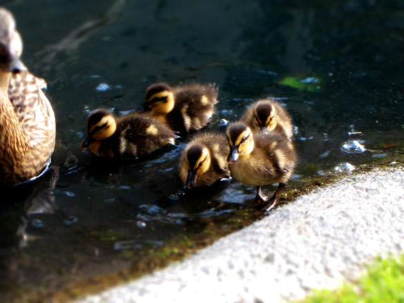 ducks_2
