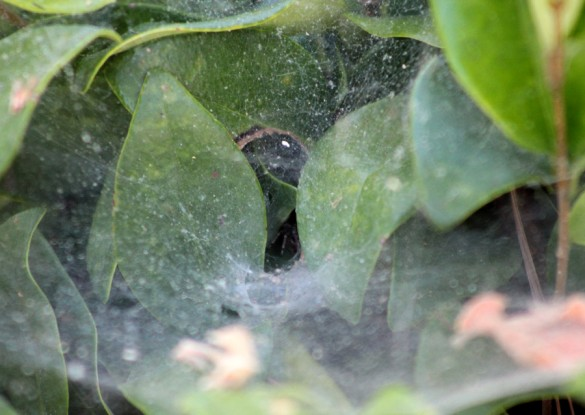 Funnel spider hiding in the leaves